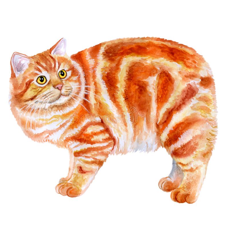 Free Watercolor Portrait Of Red Manx, Manks Cat With No Tail On White Background. Royalty Free Stock Photography - 70187877
