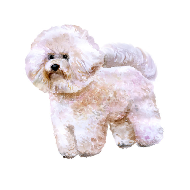 Watercolor portrait of white Canary Islands, Spain, Belgium, France bichon frise dog on white background stock illustration