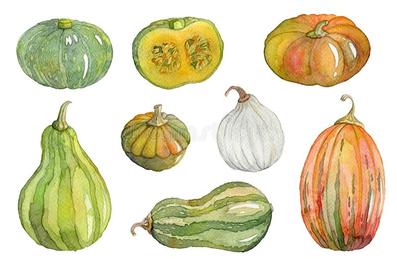 Watercolor pumpkin, squash, marrow set. Isolated elements on white background. vector illustration