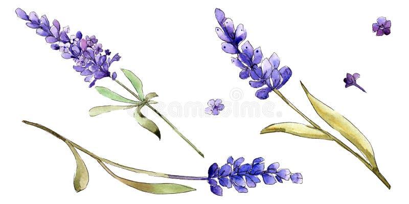 Watercolor purple lavender flowers. Floral botanical flower. Isolated illustration element. vector illustration