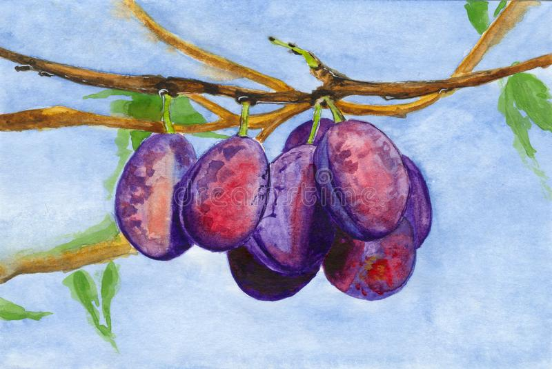Watercolor purple plums on a plum tree branch stock illustration