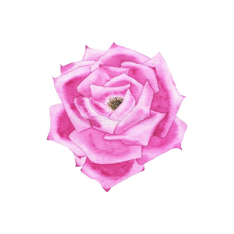 Watercolor purple rose bud flower plant herb spring flora isolated. On white background. Botanical decorative illustration for wedding invitation card stock images