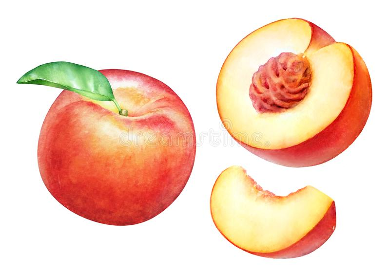 Watercolor realistic botanical illustration of the peach fruits stock illustration