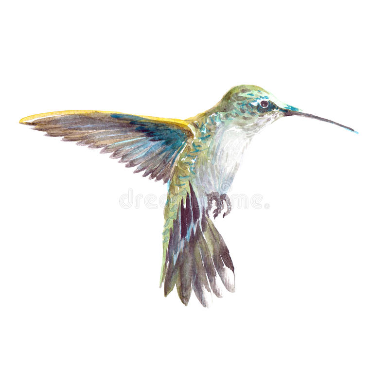 Watercolor realistic hummingbird, colibri tropical bird. Animal isolated on a white background illustration stock illustration
