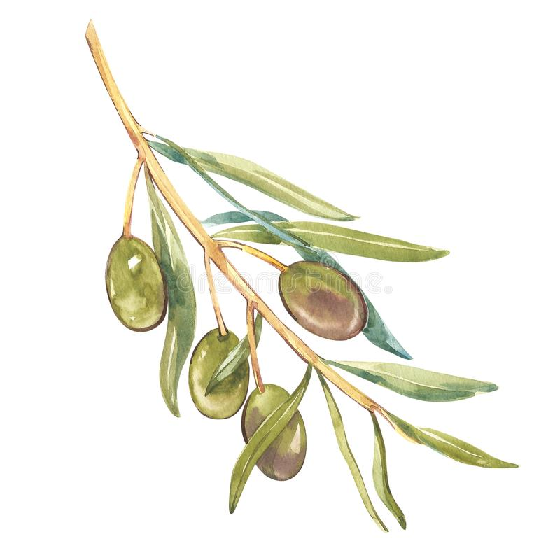 Watercolor realistic illustration of black and green olives branch isolated on white background. Design for olive oil stock illustration
