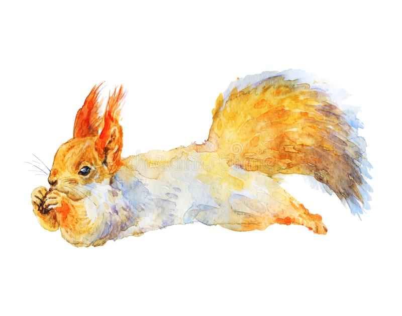 Watercolor realistic squirrel royalty free stock images
