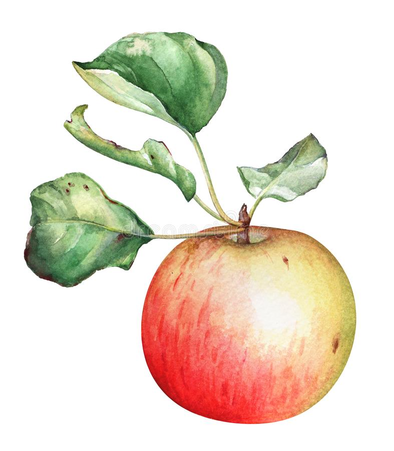 Watercolor red garden apple with green leaves royalty free illustration