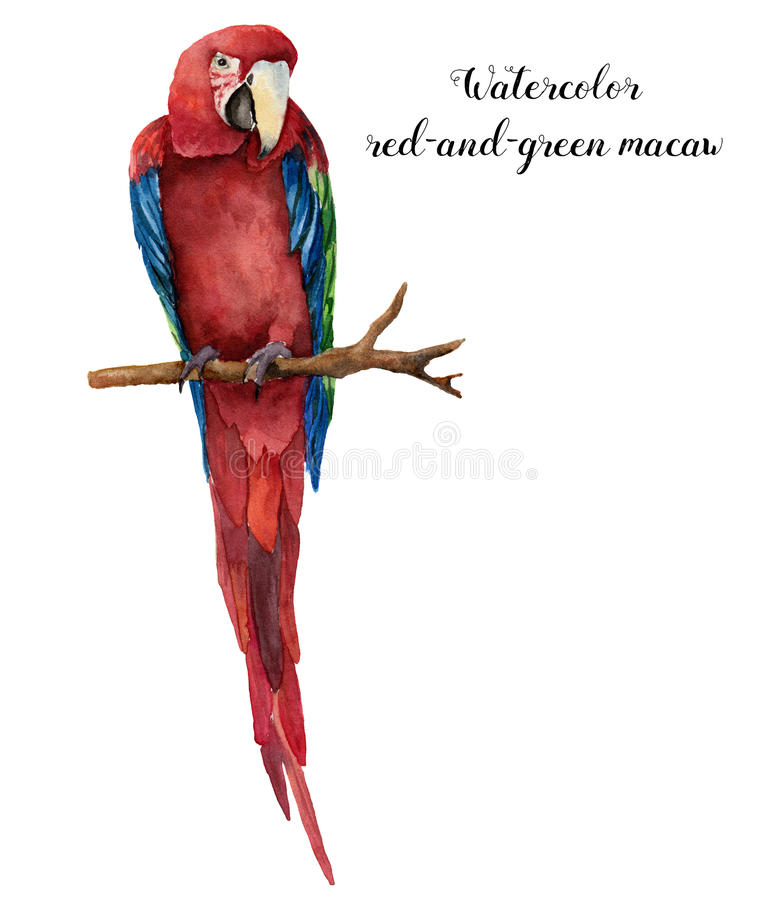 Watercolor red-and-green macaw. Hand painted parrot isolated on white background. Nature illustration with bird. For vector illustration