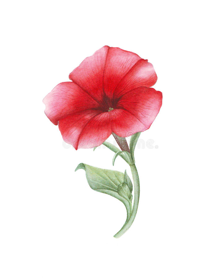 Watercolor red petunia on white background stock photos
