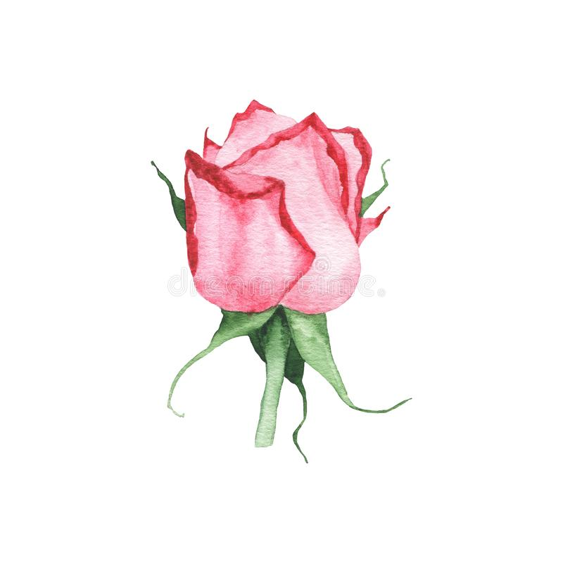 Watercolor red rose bud flower plant herb spring flora isolated. On white background. Botanical decorative illustration for wedding invitation card stock photography