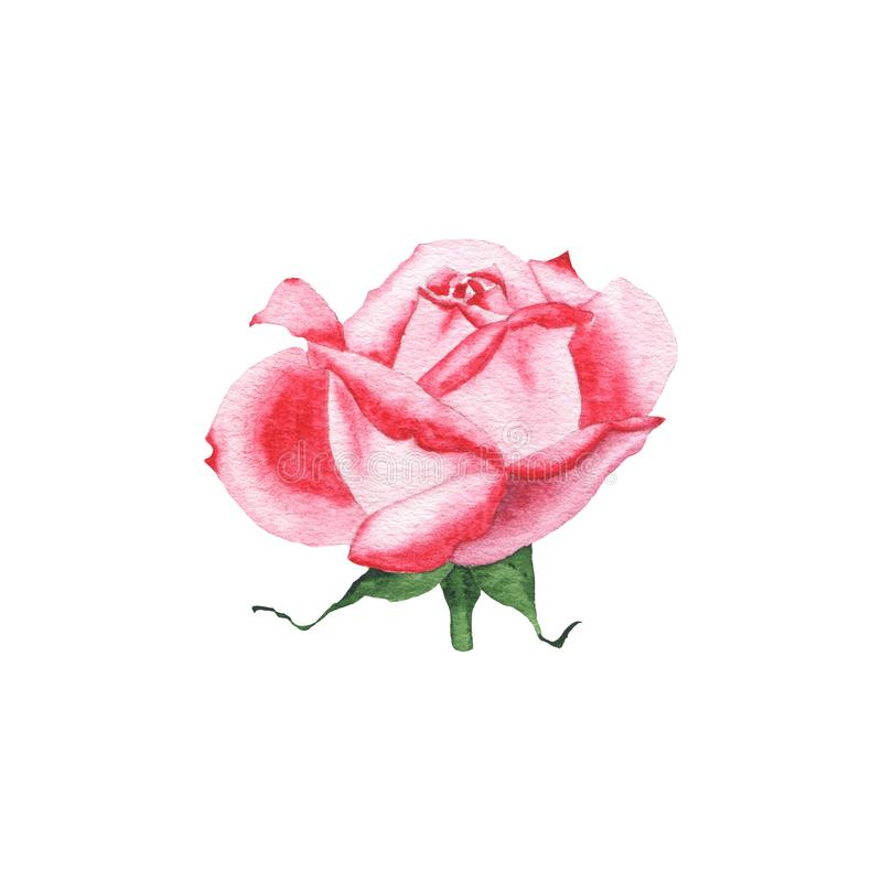 Watercolor red rose bud flower plant herb spring flora isolated. On white background. Botanical decorative illustration for wedding invitation card stock images