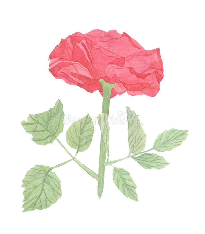 Watercolor Red rose - one flower isolated on white background. Hand drawing. Illustration royalty free stock photos