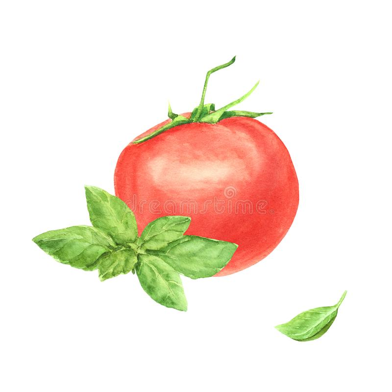Watercolor red tomato vegetable and green fresh basil leaf isolated on white background. Element for design, recipe stock illustration