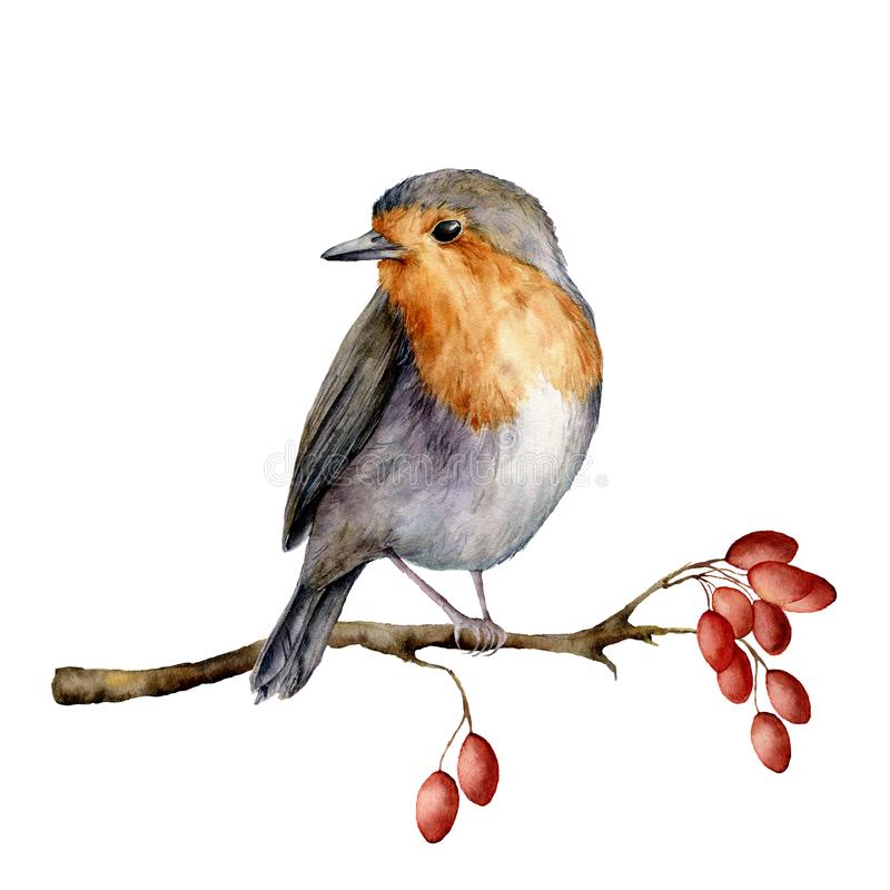 Watercolor robin sitting on tree branch with berries. Hand painted winter illustration with bird and dog rose berrie royalty free illustration
