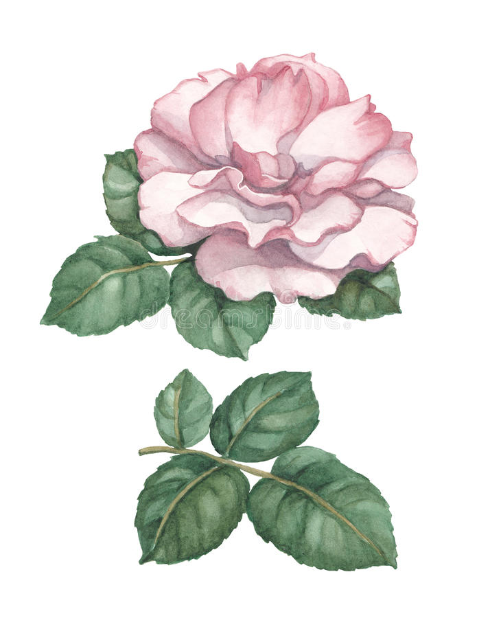 Free Watercolor Rose Illustration Royalty Free Stock Photography - 34835057