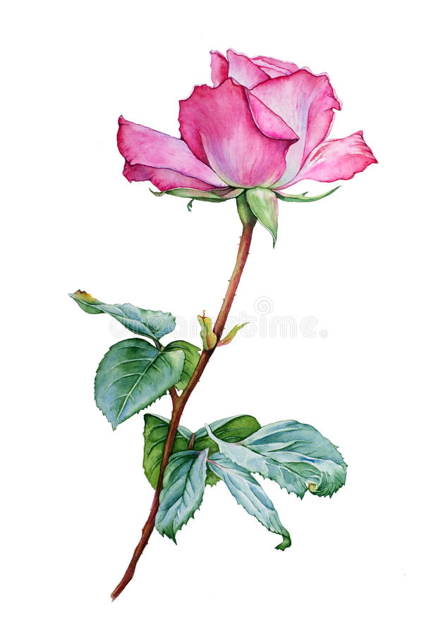 Watercolor with a Rose vector illustration