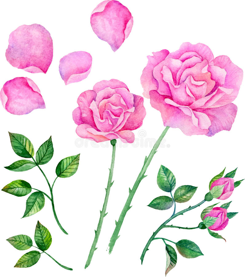 Watercolor roses, leaves. Set of floral elements to create compositions. royalty free stock photo
