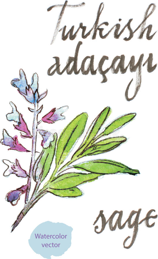 Watercolor sage. Watercolor hand drawn sage - vector Illustration. In Turkish sage means Adacayi vector illustration