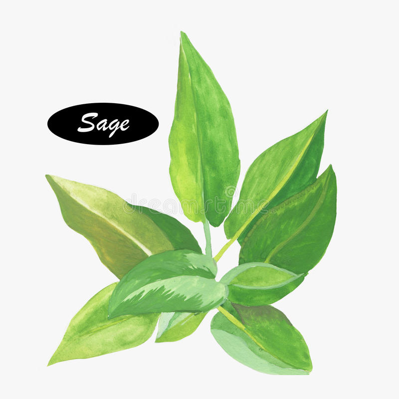Watercolor sage herb. Salvia. Genus of plants in the mint family, Lamiaceae. Salvia is part of the tribe Mentheae within the subfamily Nepetoideae. Healthy royalty free illustration