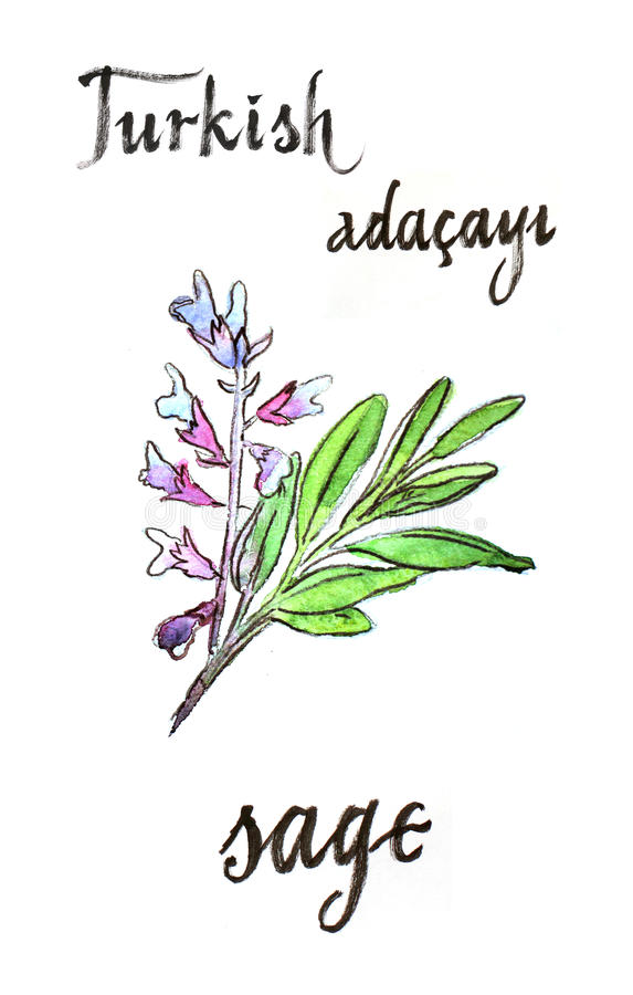 Watercolor sage - Illustration. Watercolor hand drawn sage - Illustration. In Turkish sage means Adacayi stock illustration