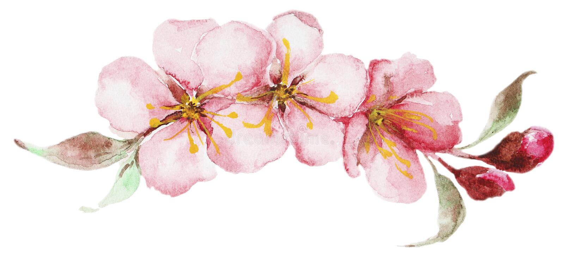 Watercolor sakura flowers stock illustration