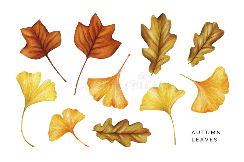 Watercolor set of autumn leaves. Tulip tree, oak and ginkgo leaves. Hand painted watercolor illustration isolated on white royalty free illustration