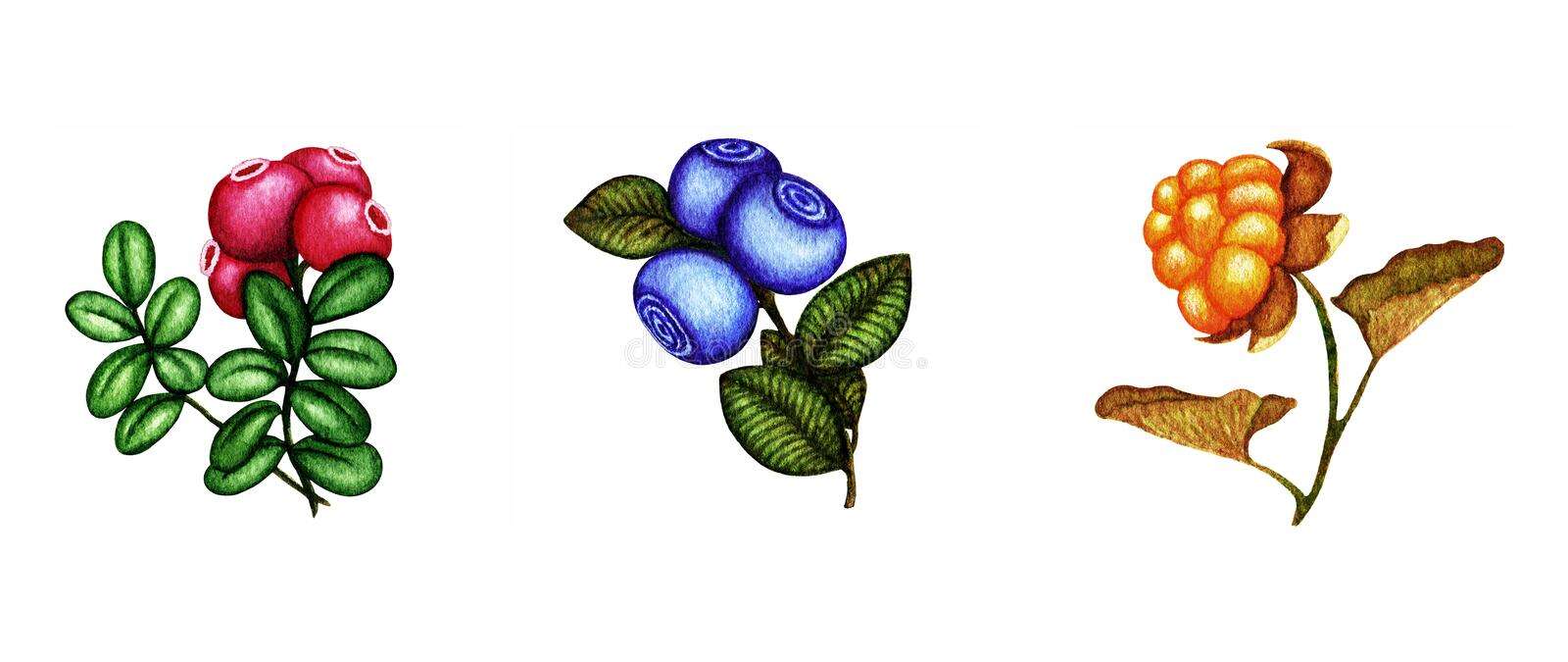 Watercolor set of berries with leaves. Hand drawn autumn and summer collection of berries cloudberry, blueberry and cowberry stock illustration
