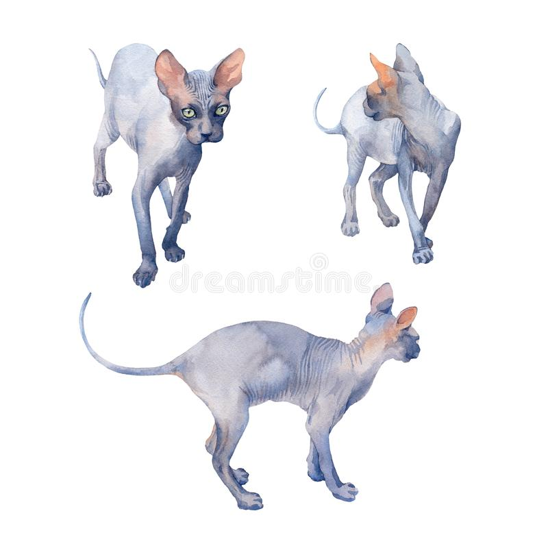 Watercolor set of Blue Sphynx Cat with green eyes attentive look. Set of Blue Sphynx Cat with green eyes attentive looking on a white background. Watercolor stock illustration