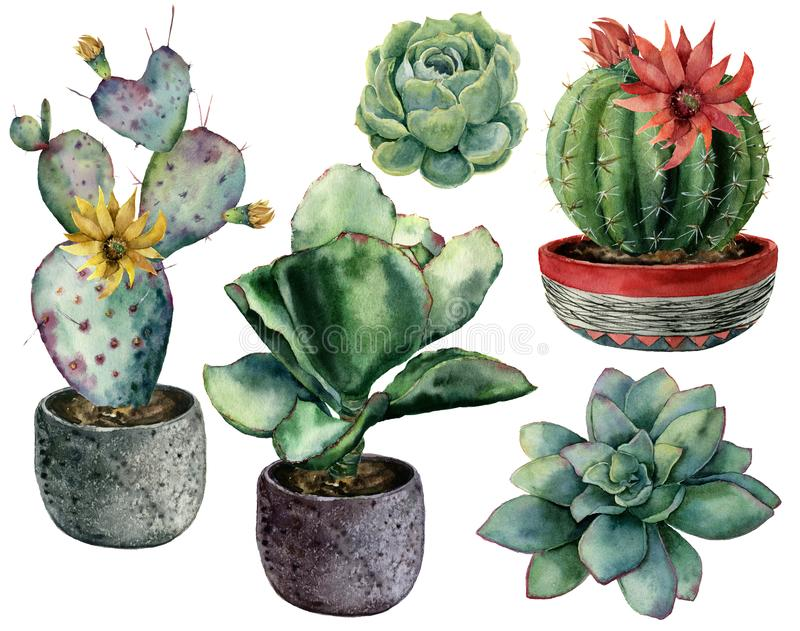 Watercolor set with cactus in a pot and flowers composition. Hand painted cereus, opuntia and echeveria with succulent stock illustration