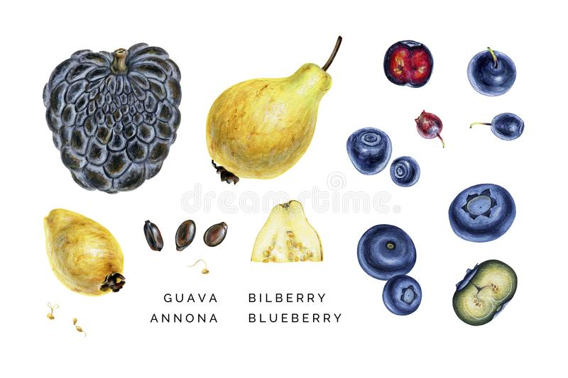 Watercolor set of exotic fruits and ripe berryes. stock photography