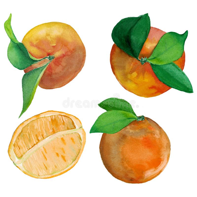 Watercolor set of fresh mandarin and oranges. Watercolor set of fresh citrus fruits- mandarin and orange. Fruits with leaves and cut in the middle. Orange stock illustration