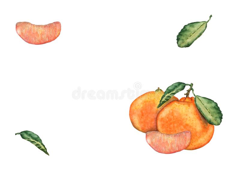 Watercolor set of mandarin fruits on white background vector illustration
