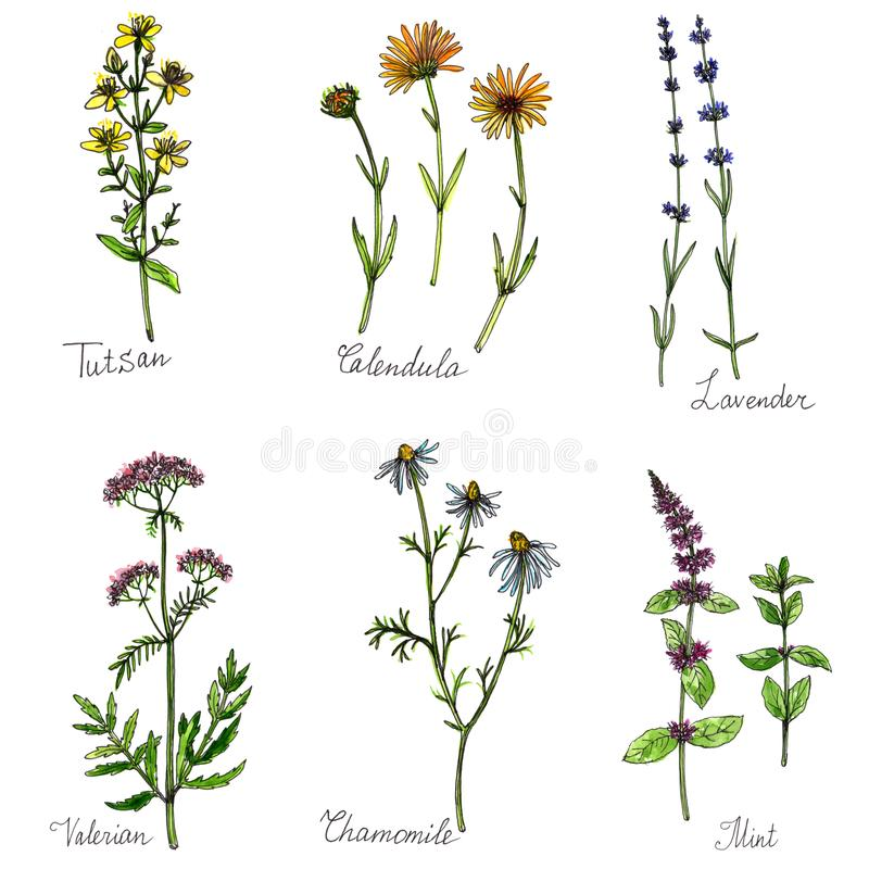 Watercolor set of medical plants stock illustration