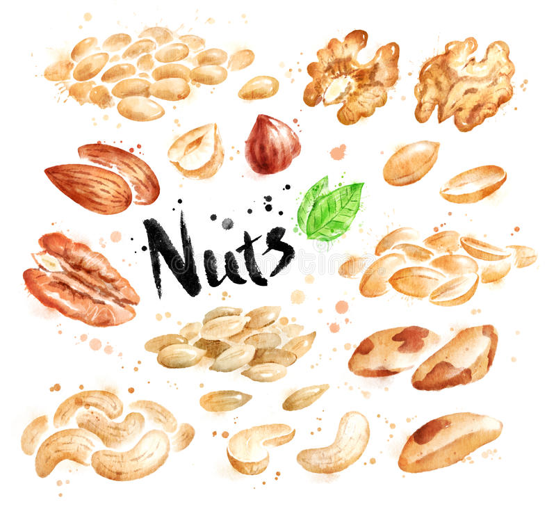 Watercolor set of peeled nuts vector illustration