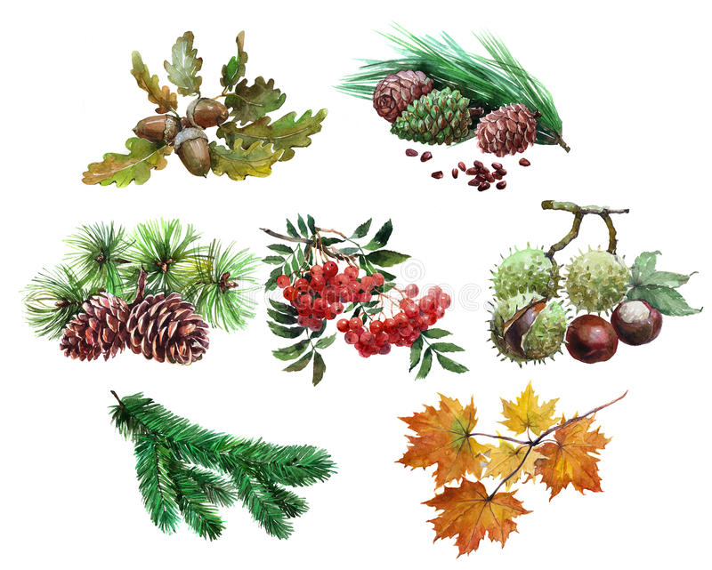 Watercolor set of plant acorn, chestnut, maple leaf, Rowan, cedar, cones, tree needles isolated royalty free illustration