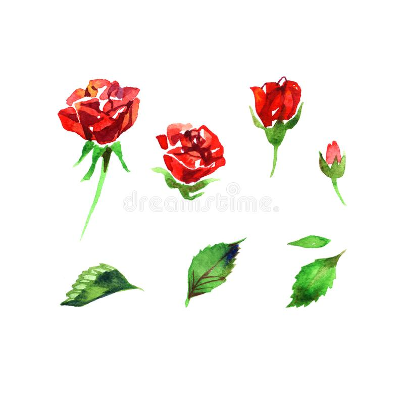 Watercolor set roses flowers, buds, green leaves closeup isolated on white background. Hand painting on paper vector illustration