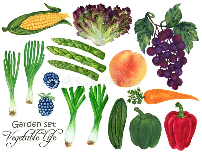 Watercolor Set vegetable and fruits seasons spring rainy in garden plants Hand-Painted Isolated on white background vector illustration