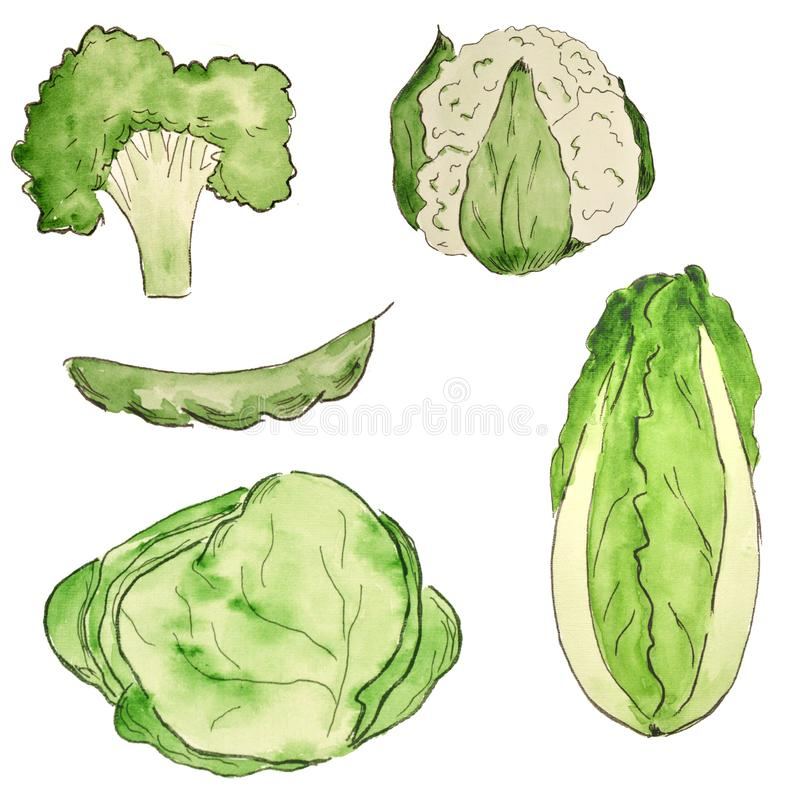 Watercolor set of vegetables. Bright types of cabbage, broccoli. Vegetarian food royalty free illustration