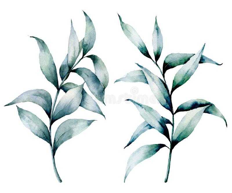 Watercolor silver eucalyptus set. Hand painted seeded eucalyptus branch with leaves isolated on white background. Floral royalty free illustration