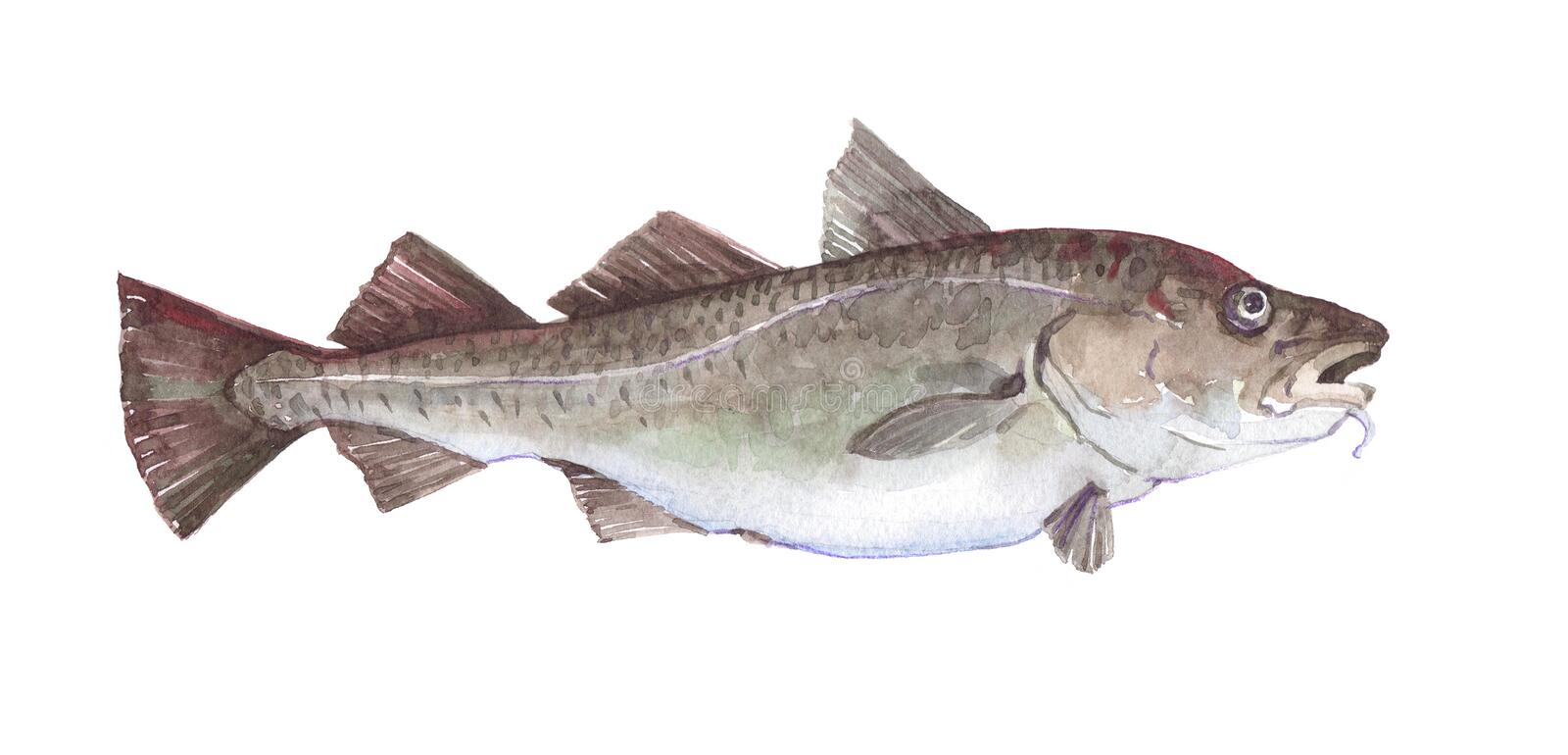 Watercolor single cod fish animal isolated. On a white background illustration stock illustration