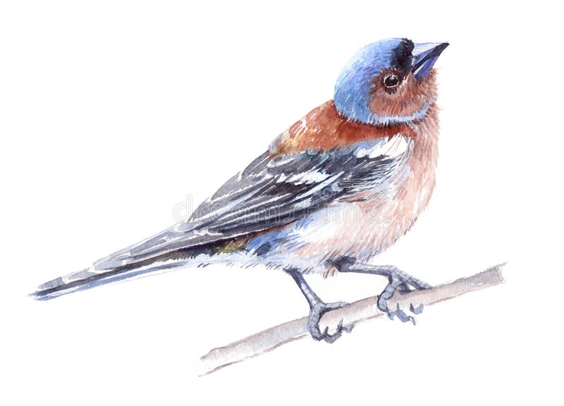 Watercolor single finch animal isolated royalty free illustration