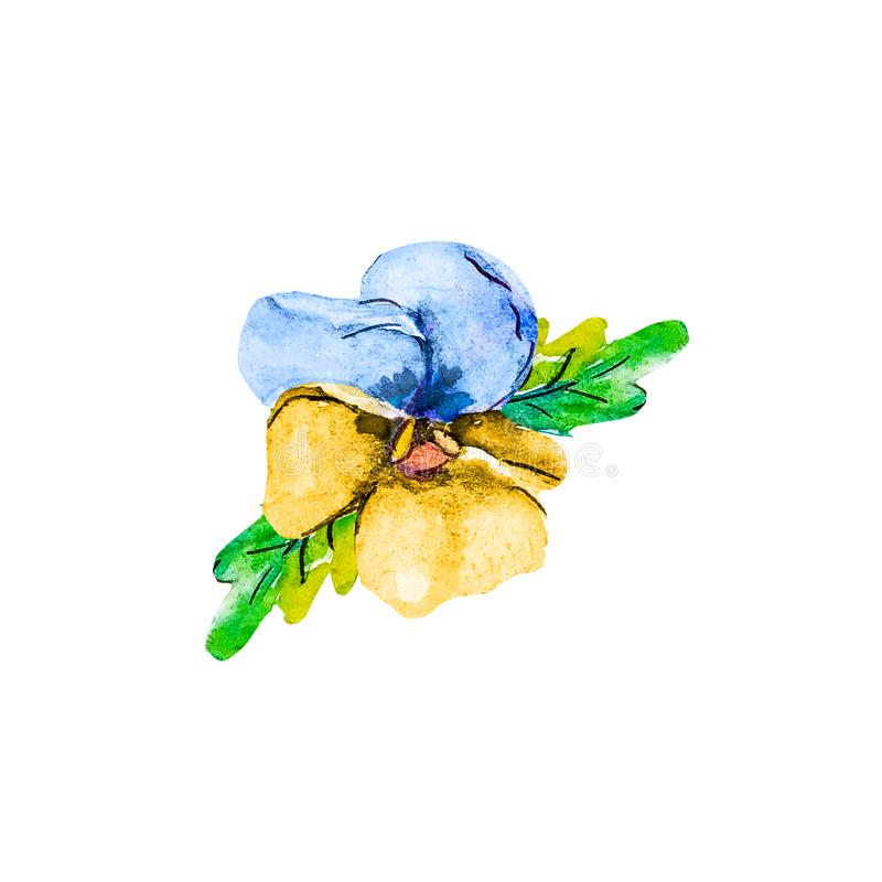 Watercolor single head blossom summer flower of blue and yellow pansy viola isolated on white background.  royalty free illustration