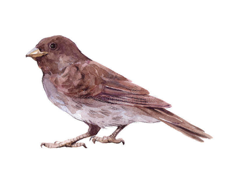 Watercolor single sparrow animal isolated royalty free illustration