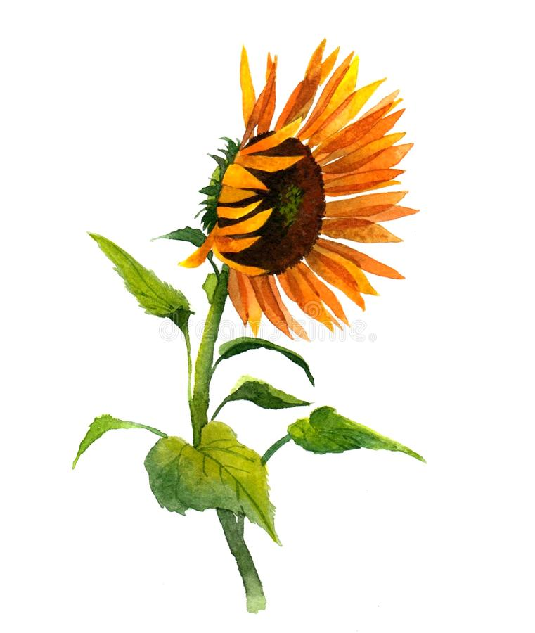Watercolor single sunflower isolated vector illustration