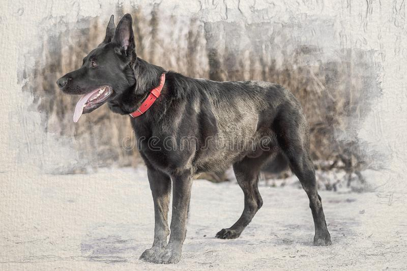 Stylized by watercolor sketch painting on a textured paper of black belgian shepherd Groenendael full lenght portrait in stock illustration