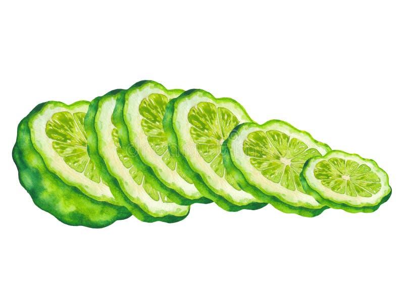 Watercolor sliced bergamot fruits. Hand painted botanical design royalty free stock images