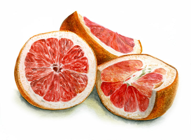 Watercolor slices of red grapefruit royalty free stock image