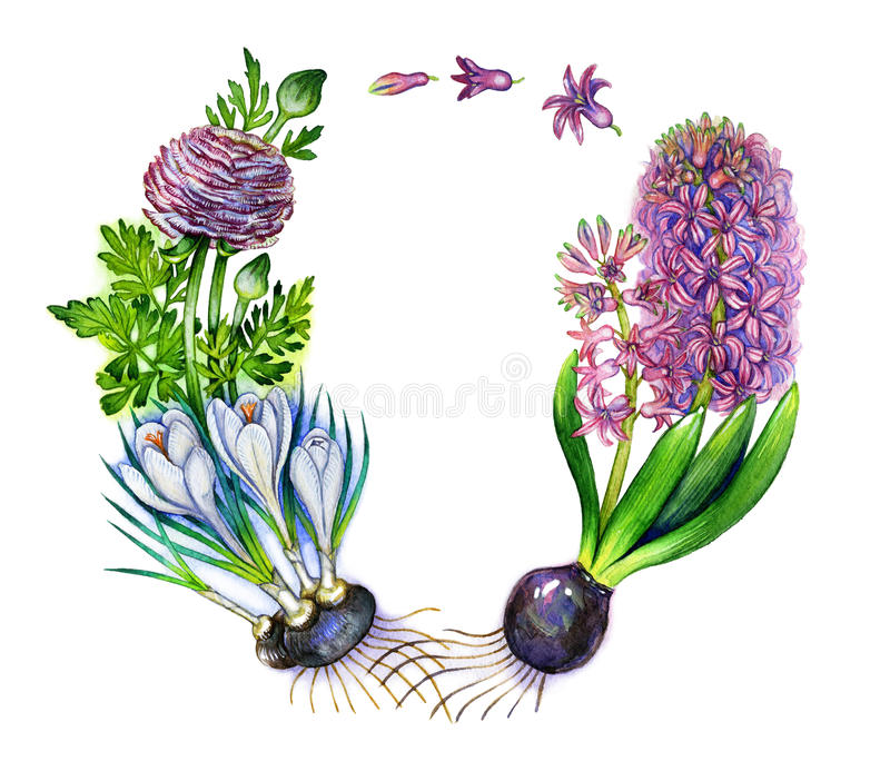 Watercolor spring flowers wreath. With pink hyathinth white crocus pink ranunculus and bulbs stock illustration