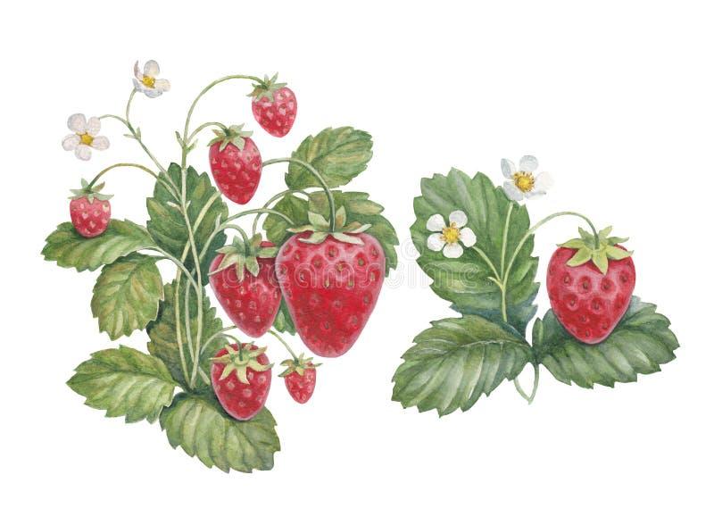 Watercolor strawberry bush stock photo