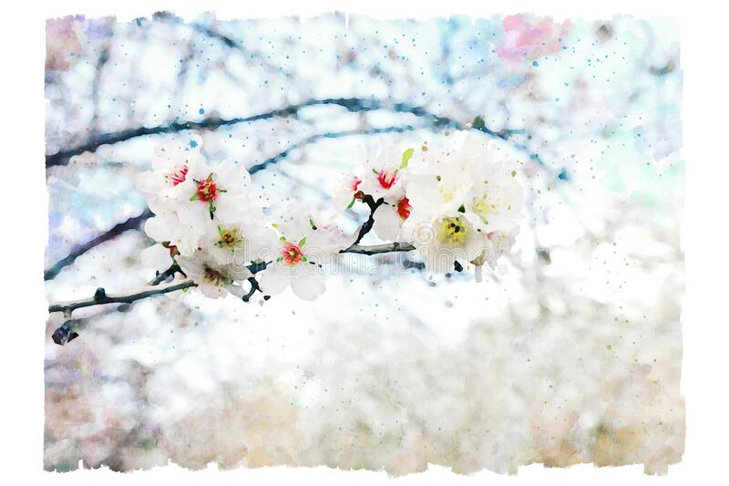 Watercolor style and abstract image of cherry tree flowers.  royalty free stock images
